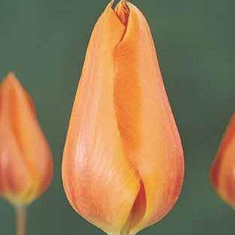 Tulip Temple's Favourite - 100 per Box