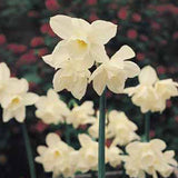 Narcissus Thalia - 50 per Box