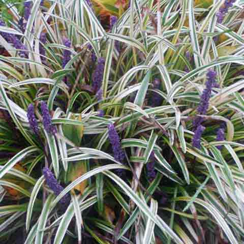Liriope 'Variegata' provides that