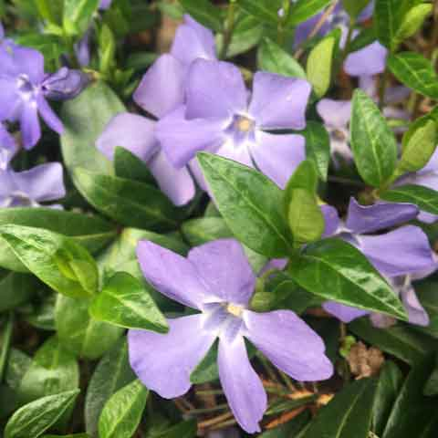 Vinca minor - 3.5 inch Pots (Minimum Quantity: 25 Plants)