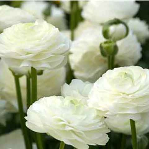Ranunculus White Doubles - 100 Bulbs
