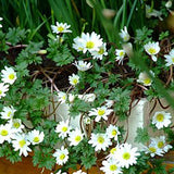 Anemone blanda 'White Splendour' in container