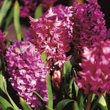 Hyacinth Woodstock flowers - GoGardenNow