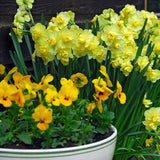 Narcissus Yellow Cheerfulness - 50 per Box