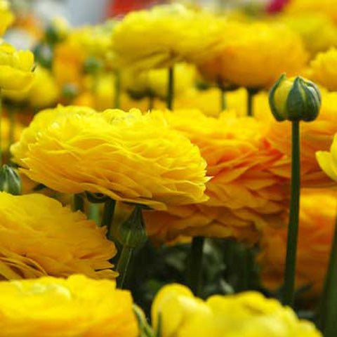Ranunculus Yellow Doubles - 100 Bulbs
