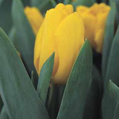 Tulip Yellow King - 100 per Box