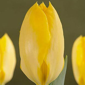 Tulip Yellow Emperor - 100 per Box