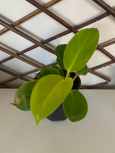 Philodendron Rush