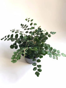 "3.5"" Pellaea rotundifolia ""Button Fern"""