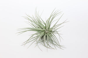Medium Ionantha Stricta Silver Air Plant