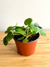 "Load image into Gallery viewer, Pilea Peperomioides ""Friendship Plant"""