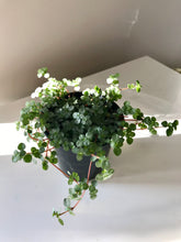 "Load image into Gallery viewer, Pilea Glauca ""Aquamarine"""