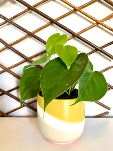 "Philodendron Cordatum ""Heart Leaf"""