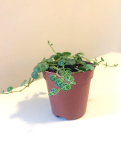 "Peperomia Prostrata ""String of Turtles"""