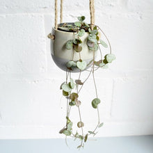 "Load image into Gallery viewer, Ceropegia Woodii ""String of Hearts"""