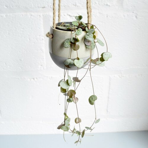 "Ceropegia Woodii ""String of Hearts"""