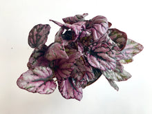 "Load image into Gallery viewer, Rex Begonia ""Hugh McLaughlin"""