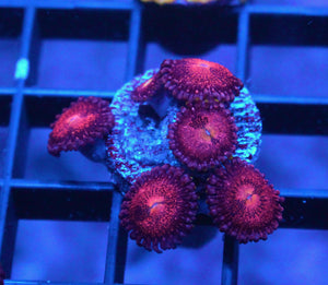 WWC OG SPACE MONSTER ZOAS