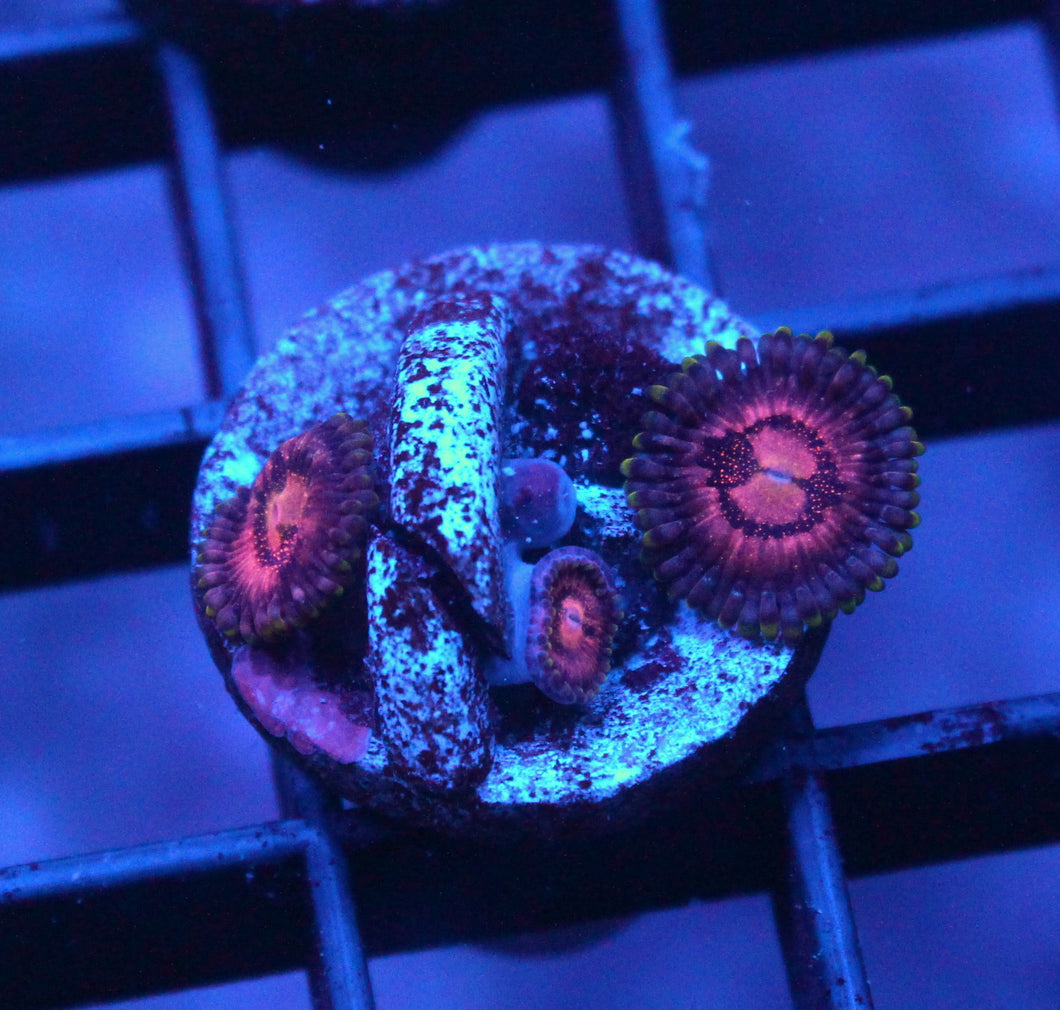 WWC SPACE MONSTER ZOAS