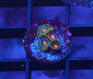 BLUEBERRY PIE / BLUE HORNET ZOAS