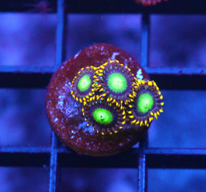 RADIOACTIVE DRAGON EYE ZOAS