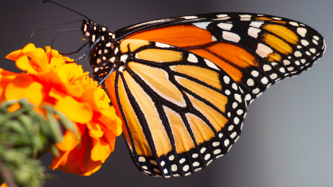 Monarch butterfly monarca papalotl meaning symbolism