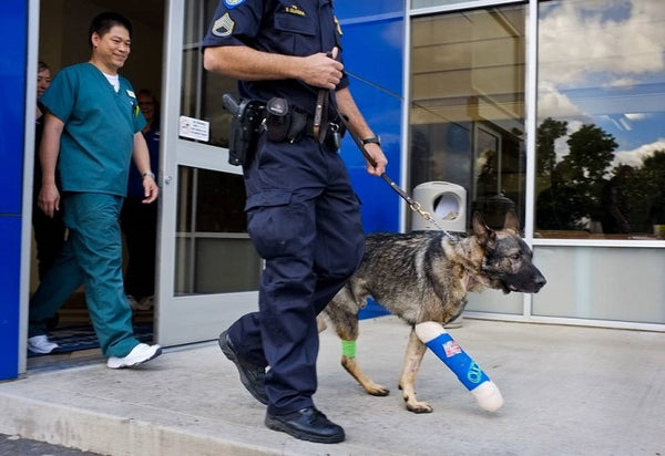 Sacramento K9 Bodie Makes a Return Home