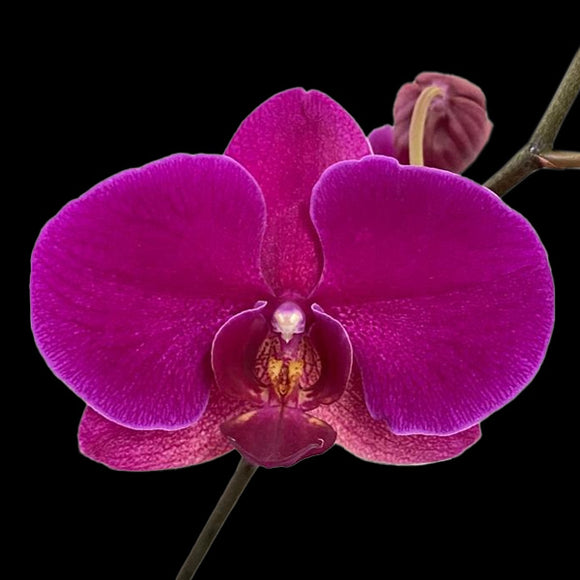 Phalaenopsis Lianher Super Red -Without Flowers | BS - Orchids Plants by Orchid-Tree.com