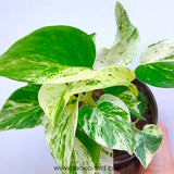 Phalaenopsis Nemo-Without Flowers | BS - Orchids Plants by Orchid-Tree.com