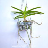 Vanda tessellata sp. - Without Flowers | SS