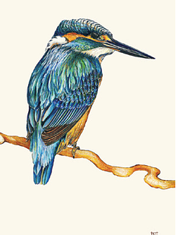 Print A3 - Kingfisher by Nikki McIvor