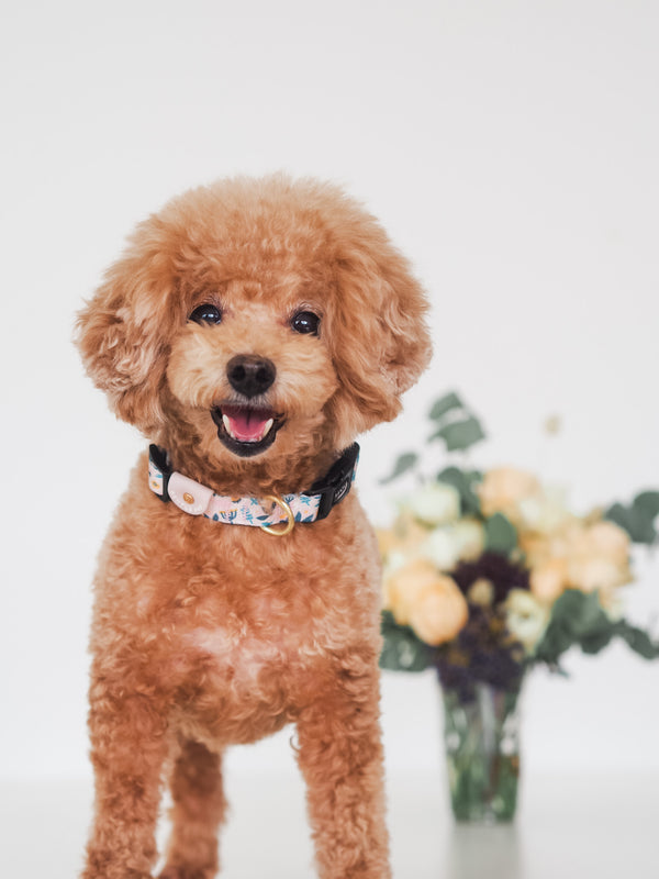 Gentle Pup-Dog Collar-Scandi Spring-Toy Poodle
