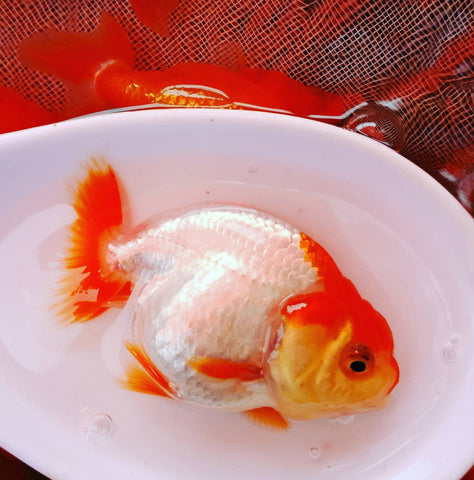 Thai Red/White Ranchu 2.00-2.50 inch Body