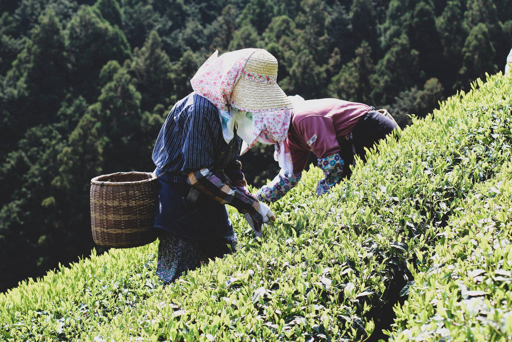 Shincha: The Beaujolais Nouveau of Tea