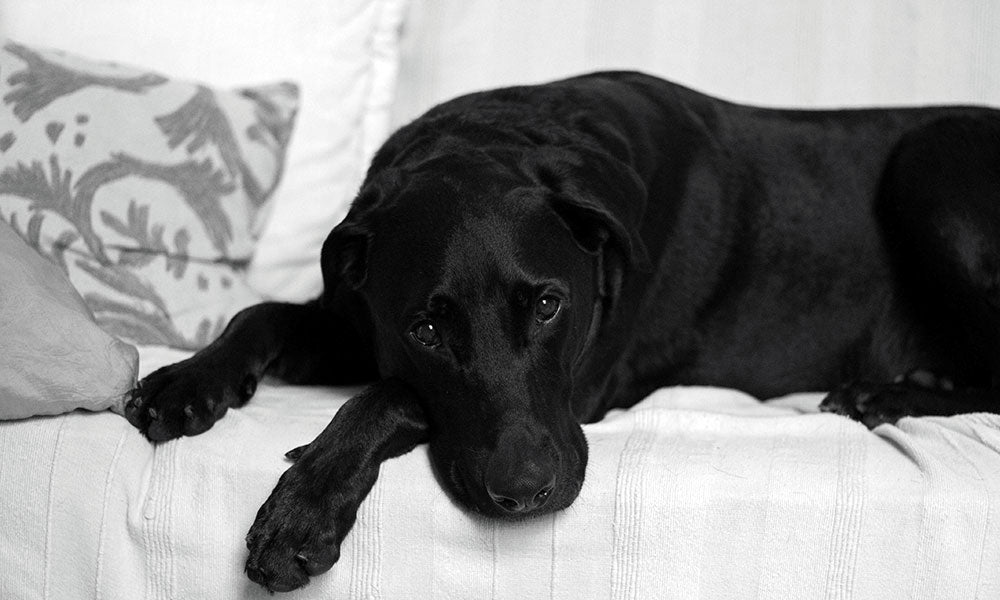 Sad black labrador - Photo by Isabela Kronemberger on Unsplash