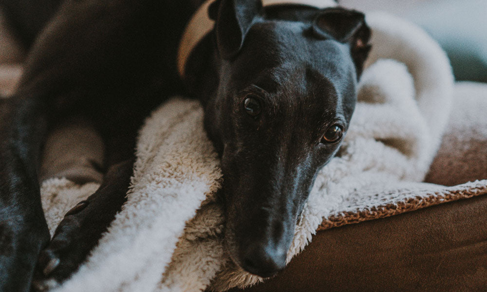 Black lurcher Photo by Annie Spratt on Unsplash