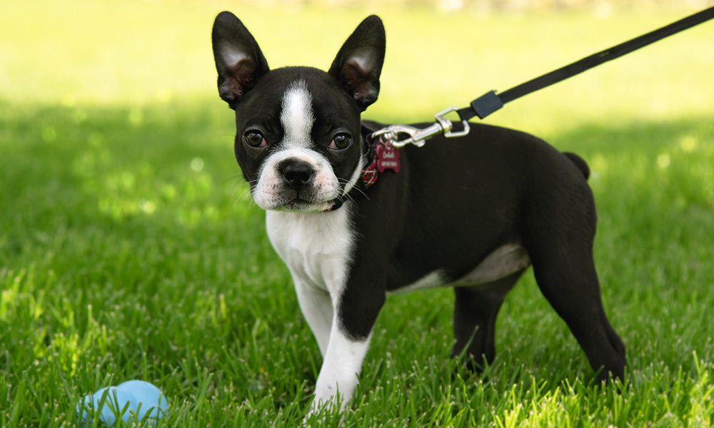 A Cute Boston Terrier - Photo by Irina Wildlife Photographer on Pexels
