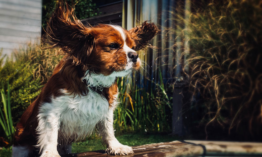 Cavalier King Charles Spaniel - Photo by Liesbet Delvoye on Unsplash