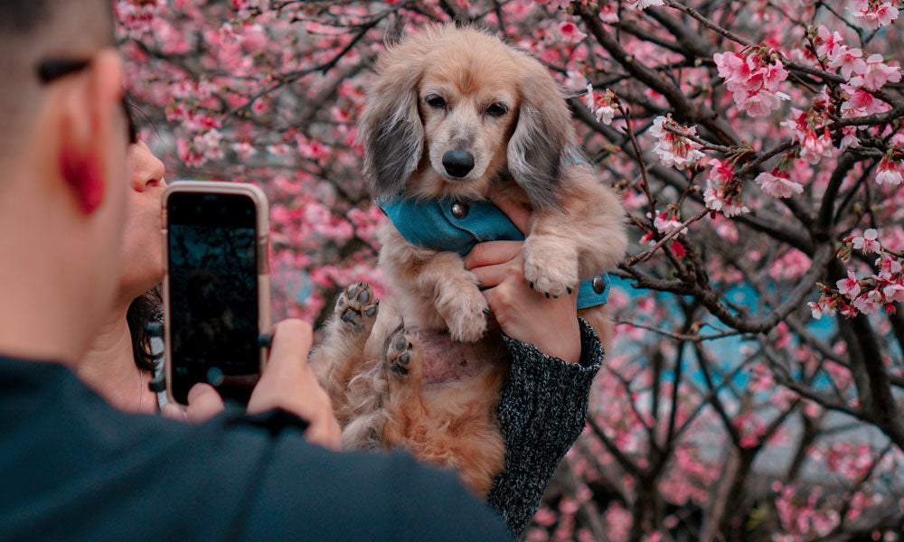 Cherry blossom dog Photo by Lisanto 李奕良 on Unsplash