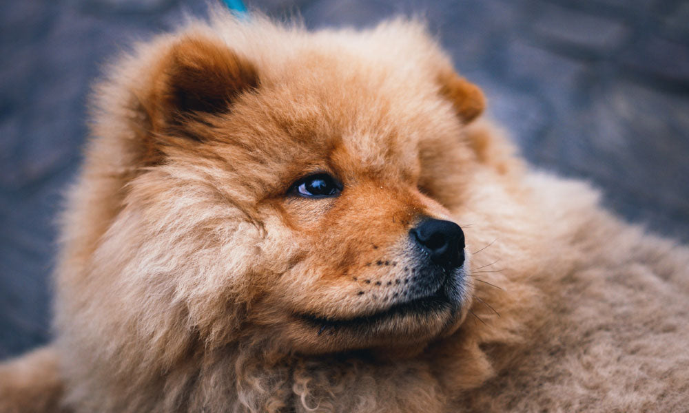 Chow Chow - Photo by Pauline Loroy on Unsplash
