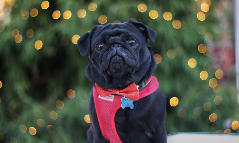 Christmas pug Photo by Indi Palmer on Unsplash