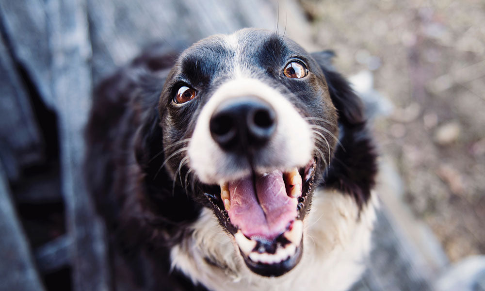 Scared collie