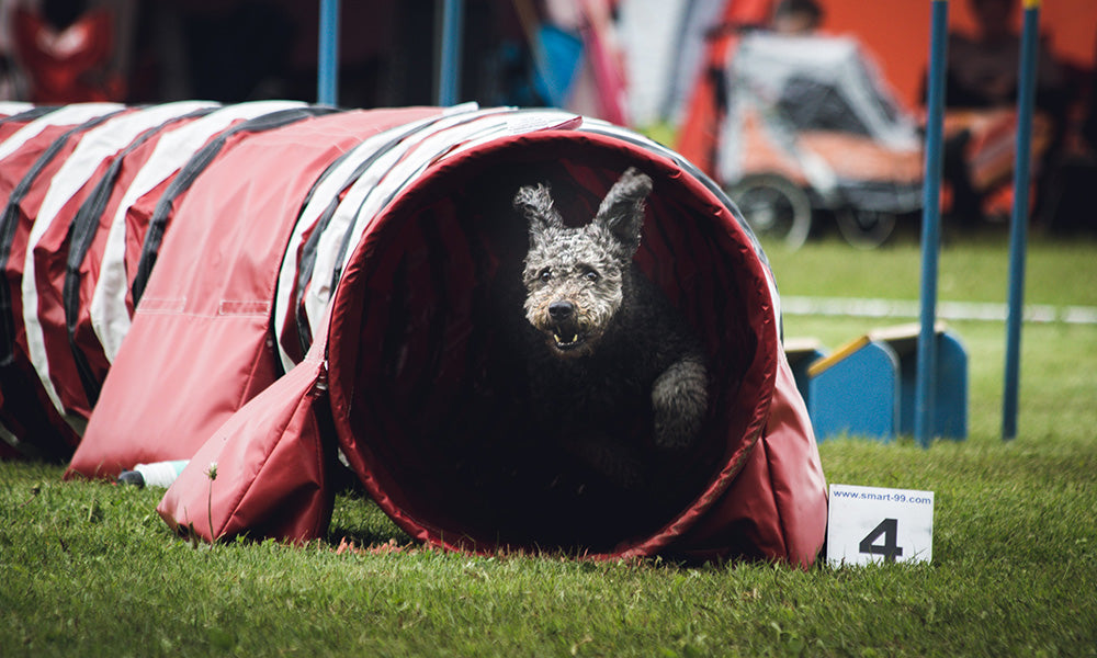 Dog agility Photo by Angel Luciano on Unsplash