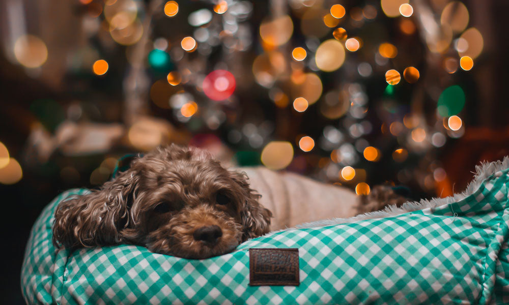 Dog in bed Photo by Heber Galindo on Unsplash