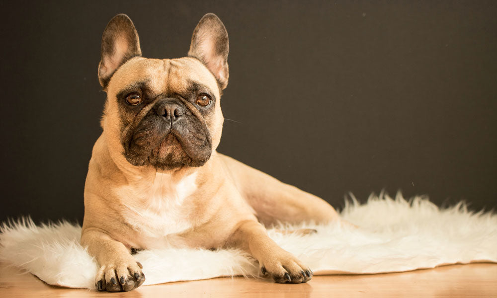 French Bulldog Photo by Alexandru Sofronie on Unsplash