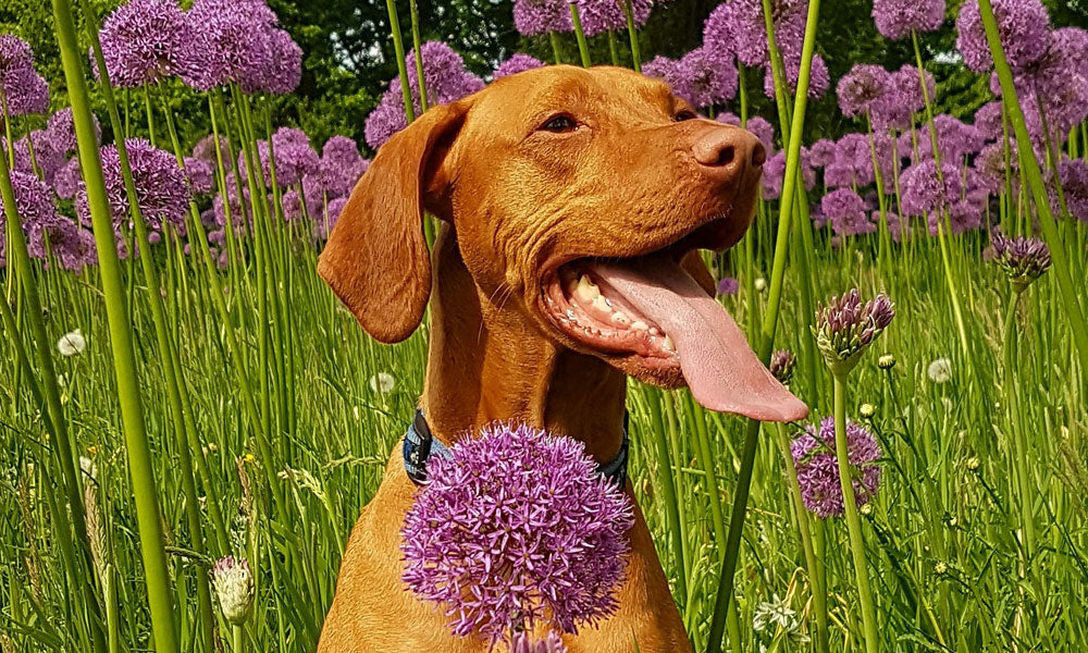 Vizsla Photo by Liesbeth Koopmans on Pexels