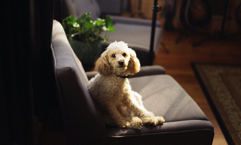 Poodle Photo by Andrew Welch on Unsplash