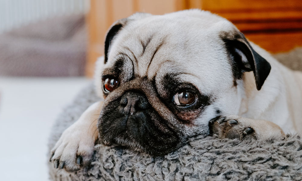 Pug - Photo by Karin Hiselius on Unsplash