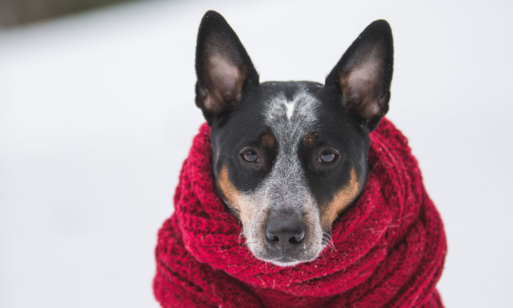 Scarf dog Photo byBenjamin LehmanfromPexels
