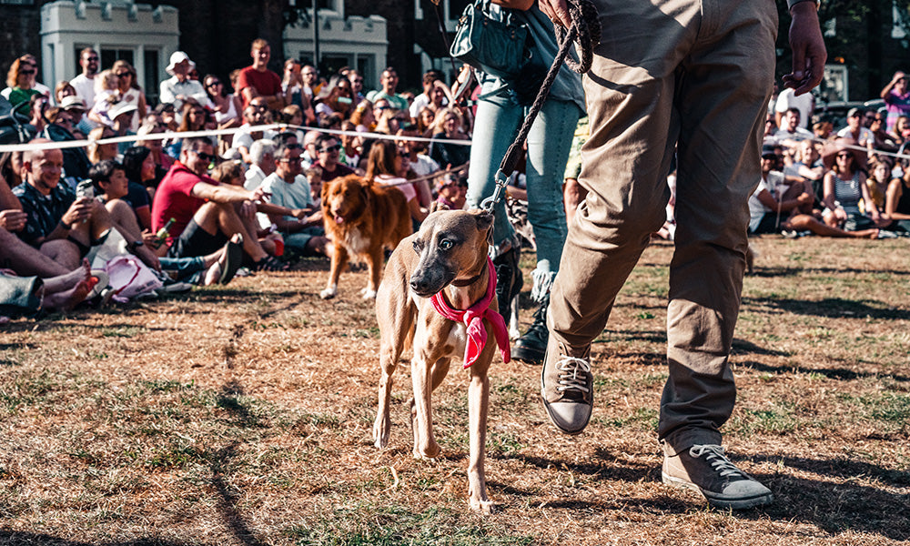 Show dog in the ring: Photo by Sebastian Coman Travel on Unsplash